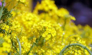第21回【花はきりしま菜の花コース 約11㌔ 参加人数1,350名】